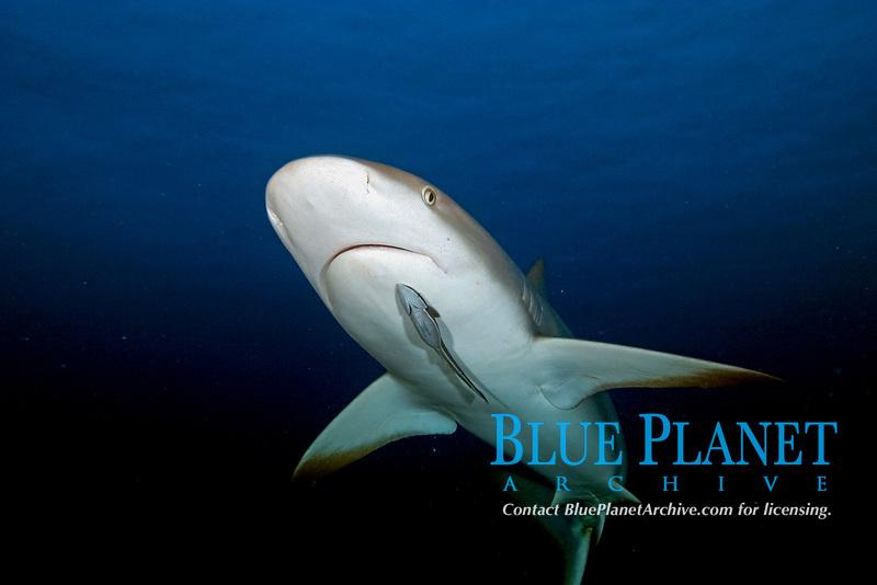 Caribbean reef shark, Carcharhinus perezii, with remora, sharksucker, Echeneis naucrates, attached, Little Bahama Bank, Bahamas, Caribbean, Atlantic,