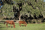Brazoria County, Damon, Texas; two brown horses feeding on grass in the pasture beside a large live oak tree in afternoon sunlight