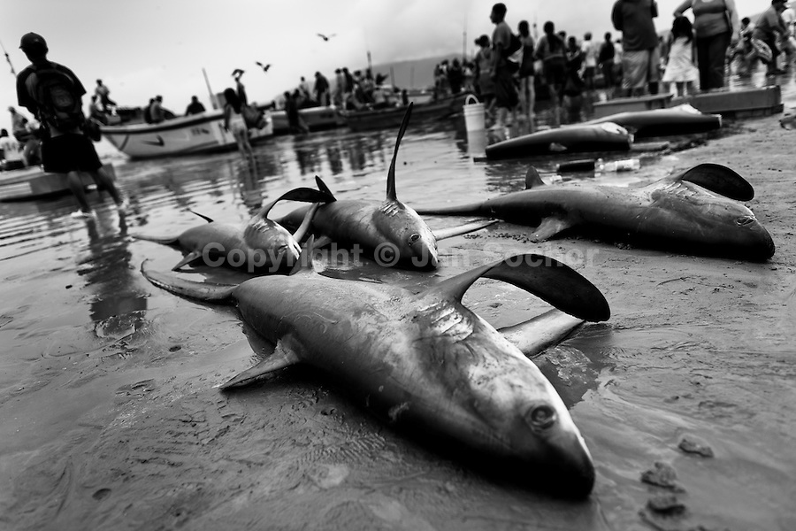 Dead thresher sharks lie on the beach of Puerto Lopez, Ecuador, 6 April 2012. Every morning, hundreds of shark bodies and thousands of shark fins are sold on the Pacific coast of Ecuador. Although the targeted shark fishing remains illegal, the presidential decree allows free trade of shark fins from accidental by-catch. However, most of the shark species fished in Ecuadorean waters are considered as ?vulnerable to extinction? by the World Conservation Union (IUCN). Although fishing sharks barely sustain the livelihoods of many poor fishermen on Ecuadorean at the end of the shark fins business chain in Hong Kong they are sold as the most expensive seafood item in the world. The shark fins are primarily exported to China where the shark's fin soup is believed to boost sexual potency and increase vitality. Rapid economic growth across Asia in recent years has dramatically increased demand for the shark fins and has put many shark species populations on the road to extinction.