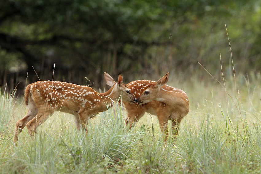 On close inspection, one can see that the fawn right has had a scrape with a barbed wire fence.<br /> <br /> The fawn left is getting close in an attempt to lick the others wounds..