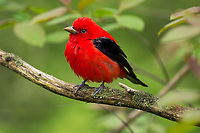 Male Scarlet Tanager (Piranga olivacea).  Great Lakes Region, May.