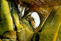 "OR01-033a  Grasshopper - auditory sac, short horned or ""true"" grasshopper, two striped grasshopper - Melanoplus bioittatus"