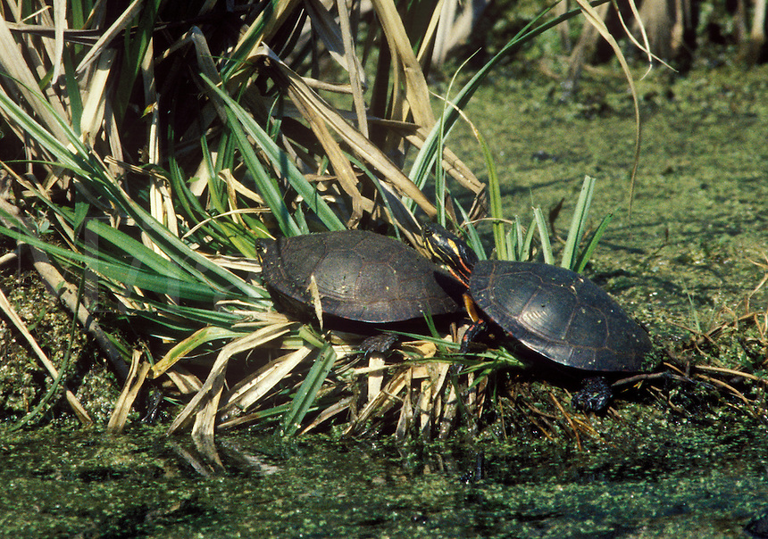 Painted Turtles rest in the sun. Point Pelee, Ontario, Canada
