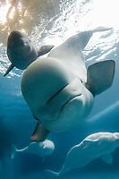 Monodontidae Delphinapterus leucas, Beluga whale, mother, baby, calf (c)
