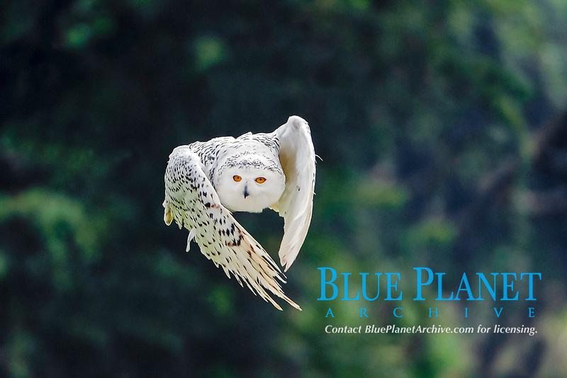 Snowy Owl (Bubo scandiacus, Nyctea scandiaca) in flight, Hesse, Germany, Europe