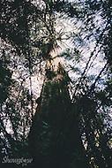 Image Ref: T66<br /> Location: Ada Tree Walk, Yarra Ranges<br /> Date: 16 July, 2016