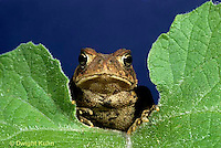 FR10-011x  American Toad - young toad  - Anaxyrus americanus, formerly Bufo americanus