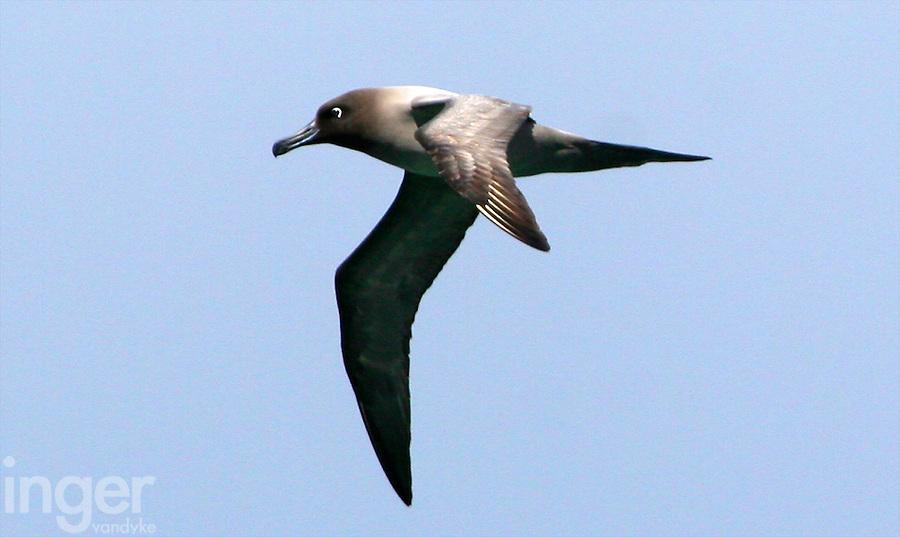 Light-mantled Sooty Albatross in flight off the Auckland Islands