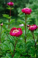 Paeonia 'Crimson Glory' (Peony)
