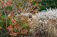 Cotinus coggygria in fall color with grasses Miscanthus sinensis