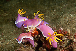 Nudibranchs mating and laying eggs (Chromodoris Bullocki)