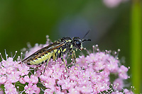 Blattwespe, Tenthredo spec., sawfly, Österreich, Kärnten
