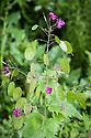 Honesty (Lunaria annua), late May.