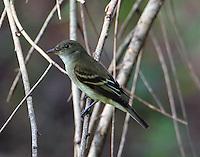 Eastern wood-peewee in fall migration
