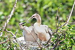 Anhinga chicks feeding each other