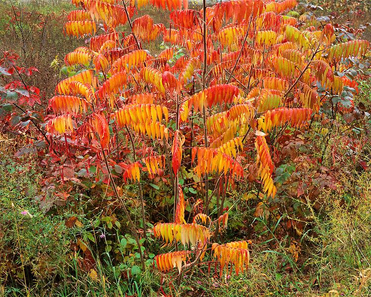 Sumac in fall color; Adirondack Park & Reserve, NY