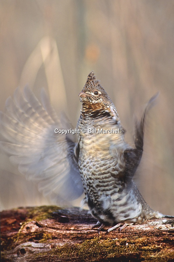 00515-048.09 Ruffed Grouse grey phase male is drumming from drumming log.  Wings in forward position.