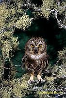 OW02-394z  Saw-whet owl - sitting on lichen covered branch - Aegolius acadicus