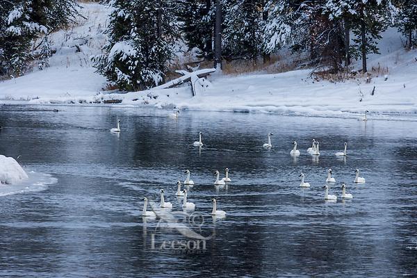 Trumpeter Swans along Henrys Fork of the Snake River, Harriman State Park, Idaho.  Winter.