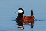 Ruddy Duck Drake