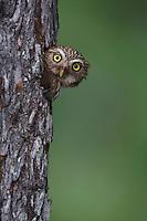 Ferruginous Pygmy-Owl, Glaucidium brasilianum, adult looking out of nesting cavity, Willacy County, Rio Grande Valley, Texas, USA