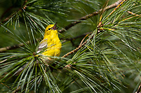 Pine Warbler (Setophaga pinus pinus), male in breeding plumage singing on its breeding territory at Connetquot River State Park Preserve, Oakdale, Long Island, New York.