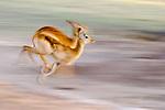 Female Puku (Kobus vardonii) running on the banks of the Luangwa River. South Luangwa National Park, Zambia.