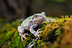 A gray tree frog poses on a mossy tree branch.<br /> <br /> ©2015, Sean Phillips<br /> http://www.RiverwoodPhotography.com