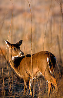 A White-taled deer - doe.