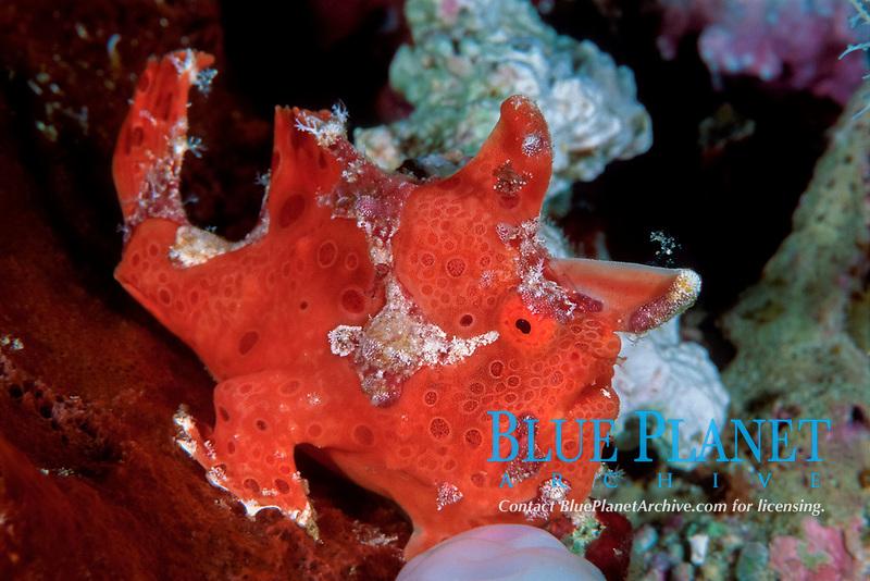 Freckled frogfish, Antennarius coccineus, Onemoba'a, Tomia, Kepulauan Wakatobi National park, Southeast Sulawesi, Indonesia, Banda Sea, Indian Ocean