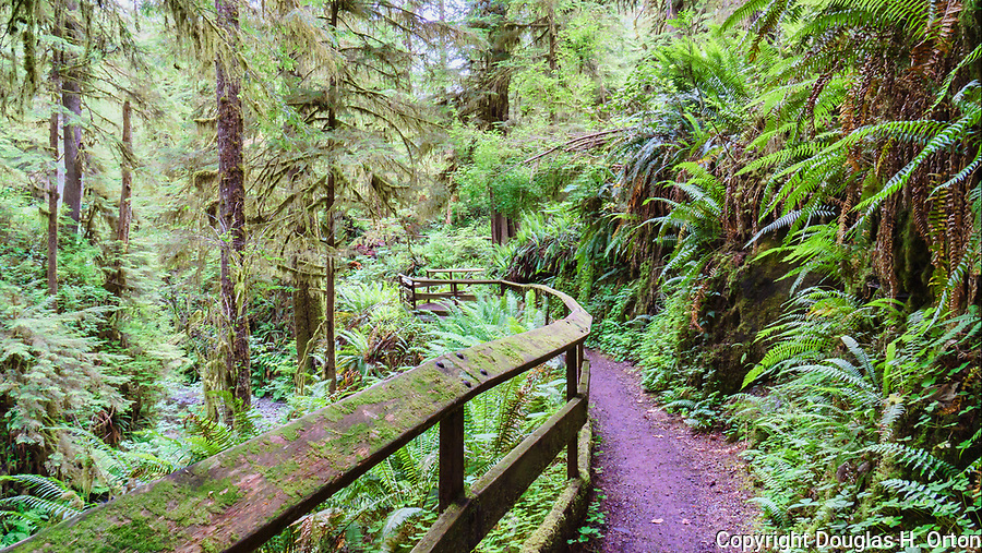 Willaby Creek Trail, Lake Quinault, at Willaby Creek Campground.  Olympic National Forest, Olympic National Park, Washington, USA.