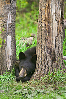 Young Black Bear lying between two trees