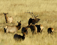 Bull Elk with his cows in Rocky Mountain National Park, Colorado