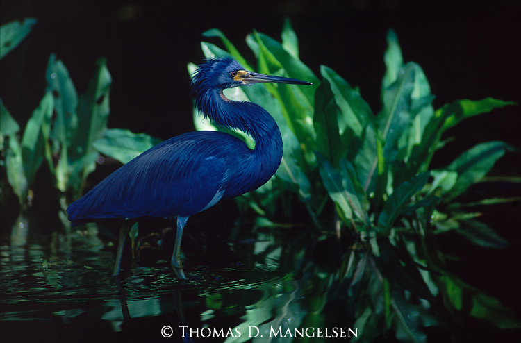 A tri colored heron wades through water at the Ding Darling National Wildlife Refuge.