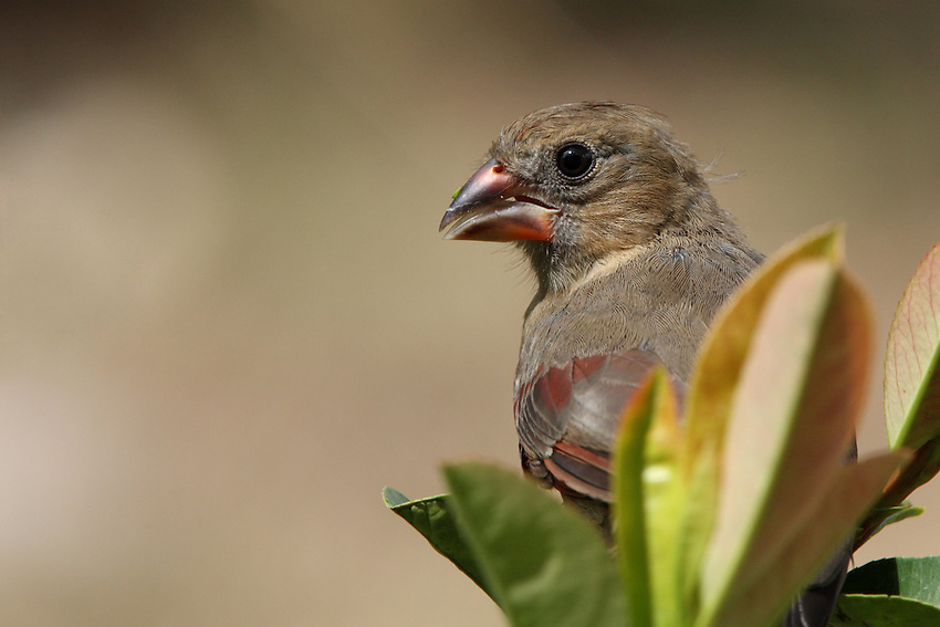 Juvenile cardinal perched within the leaves of a Red-tipped Photinia shrub.
