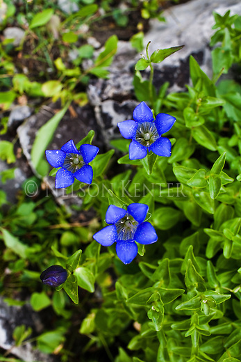 Mountain Gentian wildflowers