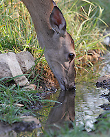 White-tailed Deer (Odocoileus virginianus) getting an early morning drink.
