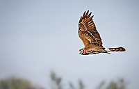Female Northern Harrier in flight, banking toward camera