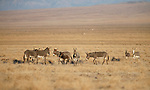 Wild burros graze in the Trinity Range, near Lovelock, Nev., on Sunday, Nov. 10, 2019. <br />