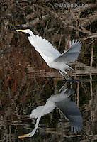 0111-0928  Flying Great Egret, Ardea alba  © David Kuhn/Dwight Kuhn Photography
