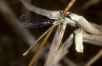 Kleine Binsenjungfer, Weibchen, Lestes virens, Small Emerald Damselfly, Small Spreadwing, female