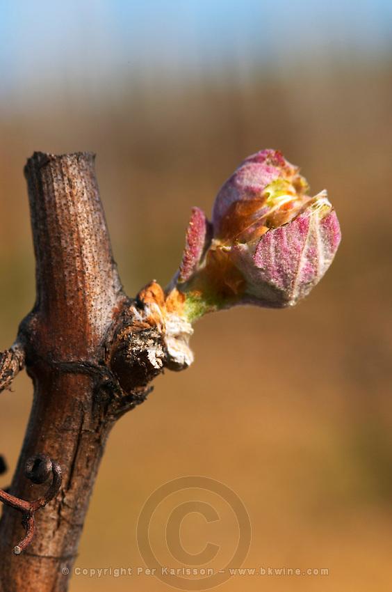buds on the vine bud burst on the vine chateau pey la tour bordeaux france