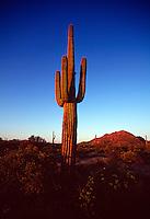 Large cactus in desert.