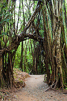 An archway made of tree roots grows over the trail to Manoa Falls, Honolulu, O'ahu.