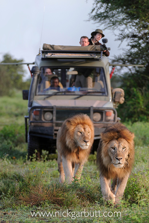 Male lions brothers (Panthera leo) being watched by tourists. Woodland on the border of Serengeti / Ngorongoro Conservation Area (NCA) near Ndutu, Tanzania.