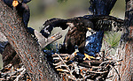 Bald eagle nest near Markleeville, Calif., on Friday, June 5, 2020. <br /> Photo by Cathleen Allison