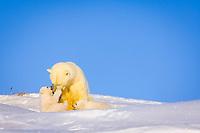 polar bear, Ursus maritimus, mother playing with her newborn spring cubs outside their den, mouth of Canning River along the Arctic coast, eastern Arctic National Wildlife Refuge, Alaska, polar bear, Ursus maritimus