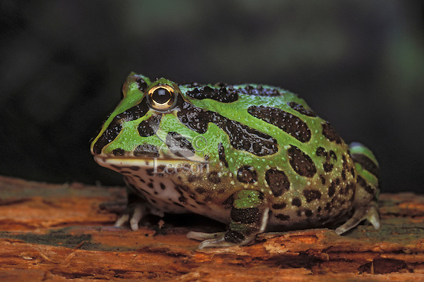 """ORNATE HORNED FROG..aka 'Pac Man"""" frog in pet trade..Native to Argentina. Captive..Ceratophryinae ornata."""