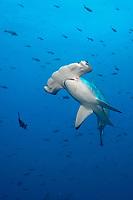 Scalloped hammerhead shark, Wolf Island, Galapagos, Ecuador, Sphyrna lewini, Galapagos, Ecuador (E. Pacific Ocean)