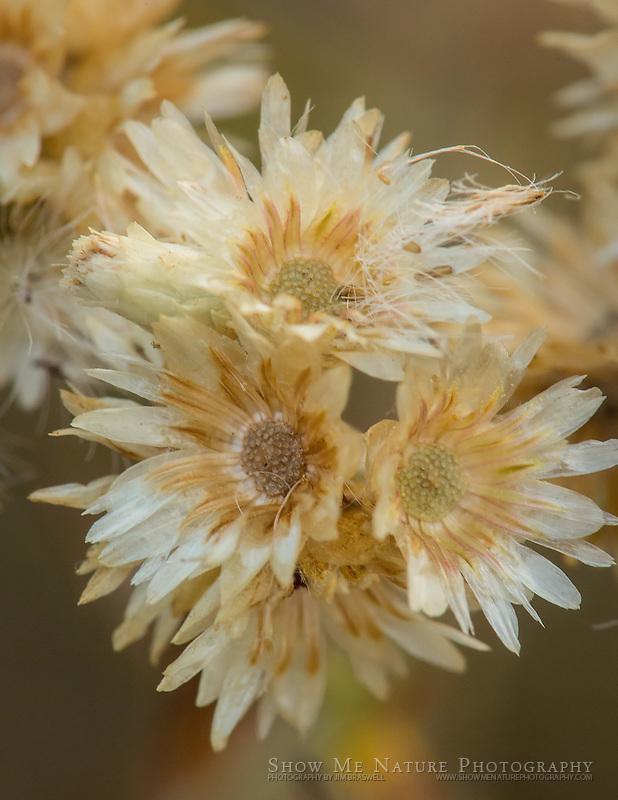 Dried prairie wildflowers on the prairie
